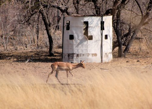 bow hunting for impala